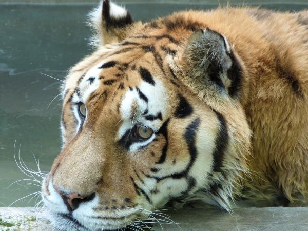 Bengalischer Tiger zur Präparation zu verkaufen