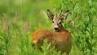 Jagen im Vogtland: Bockjagd-Wochenende