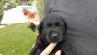 Labrador Welpen aus spezieller jagdlicher Leistungszucht suchen noch ein neues Zuhause!