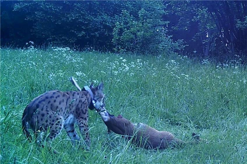 Spektakuläre Wildkatzen-Aufnahmen: Ein Luchs geht in Nusplingen mehrmals in die Fotofalle