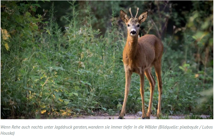 Waldschäden: Grüne wollen Rehe auch nachts bejagen - Wildtierstiftung entsetzt