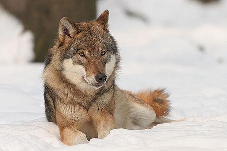 Jagd auf Problemwolf kostet Land mehr als 83.000 Euro