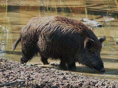 In Brandenburg: Schweinepest-Alarm! Jäger müssen Tiere schießen