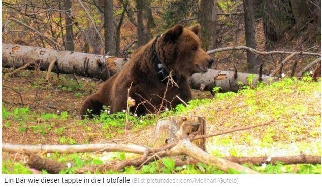 """21.04.2021  EINMALIGE SICHTUNG   Leutschach: Ein Braunbär tappte in die FotofalleZehn Jahre ist es her, dass in der Steiermark der letzte Braunbär ansässig war, neun Jahre, dass so ein Tier gesichtet wurde: Doch jetzt ging ein junger """"Meister Petz"""" im Bezirk Leibnitz einem Jäger in die Foto-Falle! Der noch nicht ausgewachsene, männliche Bär hatte sich bei einem Wildschwein-Einstand """"umgesehen"""".""""Es war ein einmaliges Erlebnis"""", erzählt der Jäger von seiner Beobachtung via Wildtierkamera. """"Und sehr beeindruckend."""" Der Steirer hatte die Kamera bei einem Platz angebracht, wo sich Wildschweine aufhalten, um sich den Bestand anzusehen. Schwein sah er in der Nacht auf Sonntag keines - dafür tauchte der Bär auf, zeigte sich von allen Seiten, """"präsentierte"""" sich der Kamera - und verschwand.Imker und andere Jäger informierthttps://www.krone.at/2395746"""
