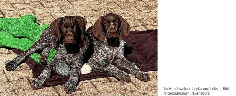 Als Welpen waren sie illegal nach Deutschland gebracht worden: Jetzt haben Layka und Leks ein neues ZuhauseIm April war in Ravensburg ein illegaler Welpenhandel aufgeflogen. Nun haben die beiden damals beschlagnahmten Hunde nach Quarantäne und tierärztlicher Versorgung ein neues Zuhause. Und auf den 33-jährigen Welpenhändler kommt nach Polizeiangaben unter anderem ein Bußgeld von mehreren tausend Euro zu.https://www.suedkurier.de/region/bodenseekreis/bodenseekreis/als-welpen-waren-sie-illegal-nach-deutschland-gebracht-worden-jetzt-haben-layka-und-leks-ein-neues-zuhause;art410936,10898322