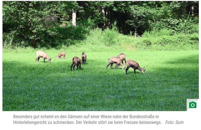 """Tiere in SchiltachGämse sind im Schwarzwald längst (wieder) heimischMichaela Sum 10.09.2021   Ja hoi, was steht denn da? Diese Reaktion ereilt Autofahrer entlang der B462 zwischen Schiltach und Schramberg immer wieder. Auf einer Wiese direkt neben der Straße halten sich bisweilen zahlreiche Gämse auf. Die erwartet man eher in den Alpen – doch auch hier sind die Tiere längst (wieder) heimisch. Schiltach-Hinterlehengericht - Vor allem morgens und vormittags sind die Tiere oft zu beobachten, wie sie auf dem Wiesenstück stehen und fressen. Der vorbeifahrende Verkehr stört die Tiere offenbar kein bisschen. Doch woher stammen die hiesigen Gämse eigentlich? """"Gamswild war im 14. Jahrhundert im Schwarzwald noch Standwild – hat sich also immer dort aufgehalten"""", erklärt Timo Riegraf, Gamsobmann der Kreisjägervereinigung Rottweil. Dann wurden die Gämse durch Fressfeinde wie Bären und Luchse, aber auch den Menschen ausgerottet.https://www.schwarzwaelder-bote.de/inhalt.tiere-in-schiltach-gaemse-sind-im-schwarzwald-laengst-wieder-heimisch.7f0126cc-f0b6-4cb2-9d20-d54c3c3fe92e.html"""