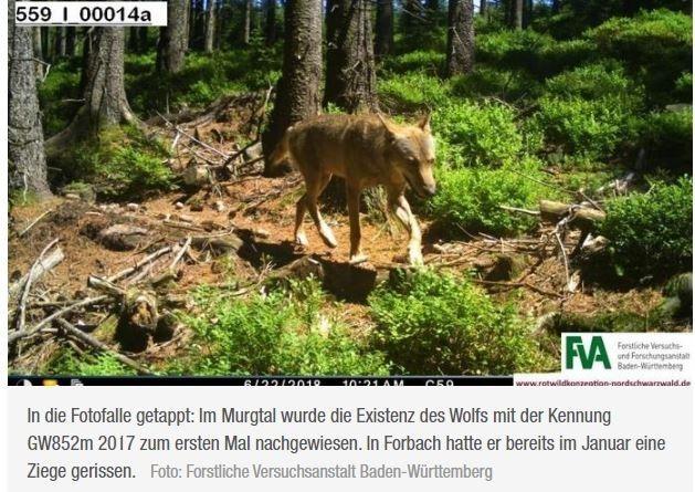 DNA wird untersucht   Gerissene Ziege in Forbach: Hat der Wolf GW852m wieder zugeschlagen?Eine gerissene Ziege und ein wütender Tierhalter: Konrad Roth beklagt auf seiner Weide in Forbach den dritten Vorfall in einem guten Jahr. Der Wildtierbeauftragte Martin Hauser geht davon aus, dass es erneut der Wolf mit der Kennung GW852m war.https://bnn.de/mittelbaden/gaggenau/forbach/gerissene-ziege-forbach-wolf-gw852m-wolfsriss-wildtierbeauftragter-schutz