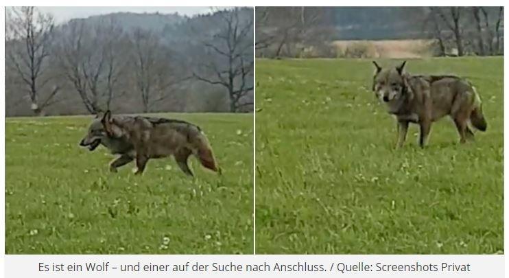 Wolfssichtung im Landkreis Miesbach   Einsamer Single sucht Anschluss27. April 2021Von Sabiene Hemkes  In der vergangenen Woche sorgte ein Video für Aufsehen: Zu sehen ist ein Wolf, wie er durch den Landkreis Miesbach streift. Auf ein hier lebendes Rudel gibt es bisher keine Hinweise. Doch was macht der Wolf dann hier bei uns – so einsam und allein?Fast alle im Landkreis Miesbach haben in der vergangenen Woche mitgerätselt und ihre Einschätzung abgegeben. Ist das wirklich ein Wolf, der auf einem Video zu sehen ist, wie er über unsere heimischen Wiesen läuft? Rückschlüsse aus einem Video zu ziehen, das viral geht, ist nicht immer einfach. Aber diesem Fall immerhin leichter.Denn Wölfe existieren hier wirklich noch, trotz aller menschlicher Versuche sie auszurotten. Und seine Population in Deutschland steigt wieder deutlich an.Experten auch ohne DNA Analyse sicherhttps://tegernseerstimme.de/einsamer-single-sucht-anschluss/