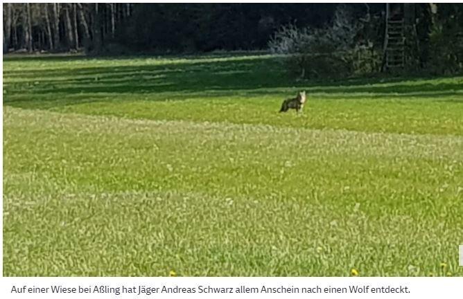29. April 2021, 16:21 UhrNatur in Bayern  :  Wolf in Aßling gesichtet: Landratsamt meldet gerissenes SchafAuf einer Wiese in Aßling wird ein Wolf gesichtet, wenige Tage später ein gerissenes Schaf im Gemeindegebiet Ebersberg gemeldet. Experten gehen davon aus, dass das Tier bald weiterziehen wird.Von Franziska Langhammer, Aßling Er steht aufrecht, die Ohren sind gespitzt, der Blick direkt auf den Fotografen gerichtet: Das Tier, das Andreas Schwarz am vergangenen Dienstag auf einer Aßlinger Wiese gesichtet und abgelichtet hat, ist aller Wahrscheinlichkeit nach ein Wolf. Zum ersten Mal gesehen wurde das Tier am vergangenen Dienstagvormittag, südlich von Niclasreuth, das zur Gemeinde Aßling gehört. Am Donnerstag nun meldete das Landratsamt Ebersberg ein gerissenes Schaf im Gemeindegebiet. Ob es sich dabei tatsächlich um einen Wolfsriss handelt, wird derzeit noch vom eingeschalteten Landesamt für Umwelt untersucht.https://www.sueddeutsche.de/muenchen/ebersberg/natur-in-bayern-wolf-in-assling-gesichtet-landratsamt-meldet-gerissenes-schaf-1.5279665