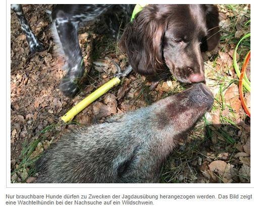 """""""Forstämter gehen mit gutem Beispiel voran""""<br /><br />Drückjagdsaison beginnt - Brauchbare Jagdhunde sind Pflicht<br />Donnerstag, 14 Oktober 2021<br /><br />WALDECK-FRANKENBERG. Auch in diesem Jahr werden im Landkreis Waldeck-Frankenberg Drückjagden auf Schalenwild durchgeführt - diese Jagdart soll den Wildbestand regulieren, um Verbissschäden an Forstpflanzen zu minimieren und Verkehrsunfälle mit wechselndem Wild auf Straßen reduzieren.<br /><br />Damit dem Wild bei der Jagdausübung kein unnötiges Leid zugefügt werden muss, ist der Jagdausübungsberechtige verpflichtet brauchbare und geeignete Hund auch auf Drückjagden einzusetzen. Kommt er dieser gesetzlichen Forderung nicht nach, macht er sich strafbar. Im vorliegenden Fall musste der Jäger und Beständer seinen Jagdschein abgeben.<br /><br />Was war geschehen?<br /><br />https://112-magazin.de/waldeck-frankenberg/kb-polizei/item/32936-drueckjagdsaison-beginnt-brauchbare-jagdhunde-sind-pflicht"""