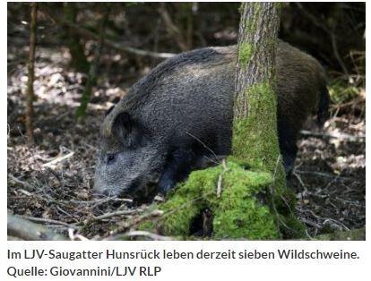 """Das LJV-Saugatter Hunsrück ist eingeweiht<br /><br />Mit einer Einweihungsfeier öffnete das LJV-Saugatter Hunsrück am 4. September seine Pforten. Der Übungsbetrieb soll im Frühjahr 2022 starten.<br /><br />(Gensingen, 08. September 2021) """"Es ist vollbracht! In Rheinland-Pfalz existiert mit dem heutigen Tag offiziell ein Schwarzwildgatter für die Ausbildung von Jagdgebrauchshunden zur Sauenjagd"""", verkündete Dieter Mahr, Präsident des Landesjagdverbandes Rheinland-Pfalz e.V. (LJV), stolz. """"Unser LJV-Saugatter Hunsrück reiht sich somit als zwanzigstes Gatter in die Liste der bundesweit existierenden Einrichtungen dieser Art ein. Diese Gatter werden nach den Vorgaben der Kompetenzgruppe Schwarzwildgatter e.V. errichtet und tierschutzgerecht betrieben."""" LJV-Präsident Mahr bedankte sich beim rheinland-pfälzischen Umweltministerium für die Unterstützung beim Erwerb des Geländes und beim Bau der Anlage. Insgesamt hatte das Ministerium eine Gesamtförderung von rund 500.000 Euro aus Mitteln der Jagdabgabe für das rund acht Hektar große LJV-Saugatter Hunsrück bewilligt.<br /><br />https://www.eifelzeitung.de/region/rlp/das-ljv-saugatter-hunsrueck-ist-eingeweiht-334517/"""
