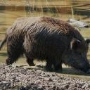 ASP bei Wildschweinen in Belgien festgestellt!Am Donnerstag haben die Behörden bei tot aufgefundenen Wildschweinen in Belgien im Dreiländereck Frankreich, Luxemburg, Belgien etwa 60 Kilometer von der deutschen Grenze entfernt, die Afrikanische Schweinepest festgestellt. Bisher gibt es noch keinen Fall in Deutschland.https://www.deutsches-jagdportal.de/portal/index.php/aktuelles/7789-asp-bei-wildschweinen-in-belgien-festgestellt