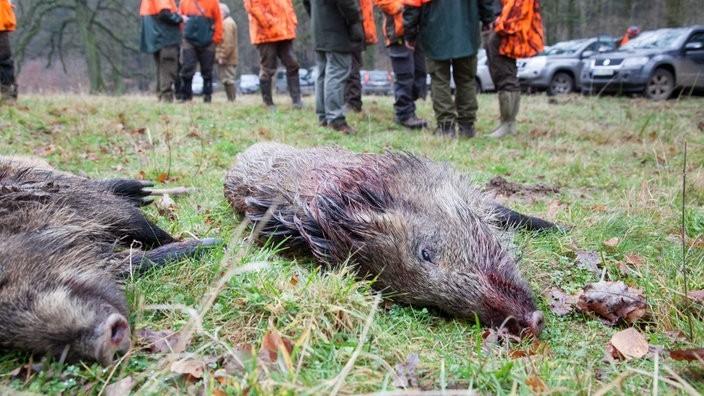 Die Jagd: Naturschutz oder Mord an Tieren?Ist die Jagd Teil des Naturschutzes und trägt zum Erhalt von Kulturlandschaft und Artenvielfalt bei? Oder ermöglicht sie - staatlich beauftragt - das sinnlose Töten von Tieren? Dieser Streit tobt schon seit Jahrzehnten, doch der Ton wird rauer. Was tun?Die Jägerschaft wird zunehmend angefeindet und bedroht. Anonyme Schmähschriften bezichtigen Jägerinnen und Jäger gar des Mordes. Allein im Kreis Wesel wurden Dutzende von Hochsitzen zerstört oder so manipuliert, dass bei späterer Nutzung Menschen hätten zu Schaden kommen können. Dabei verpflichtet das Gesetz die Jägerschaft zu Hege und Pflege des Waldes: Ziel ist der Erhalt eines artenreichen und gesunden Wildbestandes. Einige Tierschutzorganisationen sprechen sich aus ethischen Gründen gegen jegliches Töten von Tieren aus, auch gegen die Jagd. Sie plädieren für vegetarische oder vegane Ernährung.https://www1.wdr.de/radio/wdr5/sendungen/stadtgespraech/jagd-114.html