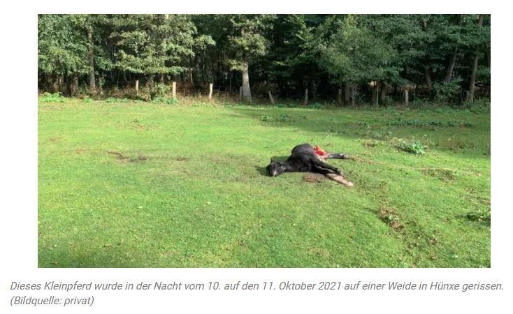"""WolfKleinpferd in Hünxe gerissenIn der Nacht vom 10. auf den 11. Oktober 2021 wurde auf einer Weide in Hünxe, Kreis Wesel, ein Kleinpferd gerissen. Der 20-jährige Wallach wurde durch einen Kehlbiss getötet.12.10.2021   von  Rebecca KopfWieder wurde im Wolfgebiet Schermbeck ein Pony gerissen und wieder in Hünxe. Diesmal handelt es sich nicht um ein Shetlandpony, sondern um ein Kleinpferd.20-jähriger Wallach gerissenDen Besitzern bot sich ein Bild des Schreckens. """"Das war der Horror"""", sagt der Pferdehalter. Er fand das Kleinpferd am 11. Oktober 2021 tot auf der Weide - nur 70 m vom Haus entfernt. Wahrscheinlich wurde der 20-jährige Wallach """"Rebell"""", mit dem die Kinder der Familie groß geworden sind und der als Therapiepferd eines der Kinder eingesetzt wurde, in der Nacht von den 10. auf den 11. Oktober 2021 von Wölfen gerissen.https://www.wochenblatt.com/landwirtschaft/pferd-pferdesport/kleinpferd-in-huexe-gerissen-12712120.html"""