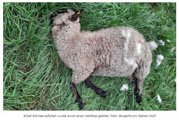 Wölfe reißen erneut zwei Schafe in Dorsten-ÖstrichNach 65 Jahren gibt Heinz Heselmann aus Dorsten-Östrich seine kleine Schafzucht aufGroßen Hunger müssen die Wölfe gehabt haben, als sie in der Freitagnacht zwei Schafe im Wolfsgebiet Schermbeck rissen.Die Wölfe aus dem Schermbecker Wolfsgebiet suchten sich erneut binnen von zehn Tagen eine Schafwiese in Dorsten-Östrich aus. Damit erhöht sich die gesamte Risszahl von Nutztieren seit August im Wolfsgebiet Schermbeck auf sechs Fälle, mit insgesamt 13 toten Schafen.Die Wolfsrisse fanden laut Bürgerforum Gahlen Wolf in der Nacht von Freitag auf Samstag statt. Schafhalter Heinz Heselmann aus Dorsten-Östrich fand auf seiner Weide am Samstagnachmittag die zwei Schafe tot auf. Die Bereitschaftszentrale des LANUV wurde noch am gleichen Tag um ca. 18.00 Uhr verständigt. Die Wolfsberaterin traf am Sonntag gegen 14.30 Uhr ein.https://schermbeck-online.de/woelfe-reissen-zum-zweiten-mal-schafe-in-dorsten-oestrich/