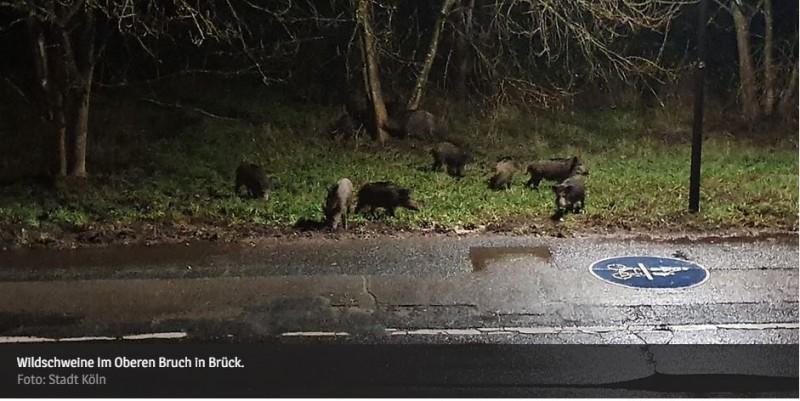 Gesellschaftsjagd ist wieder zugelassen Wildschweine breiten sich aus23.09.21    Wildschweine Im Oberen Bruch in Brück.KÖLN -   Aktuell mehren sich die Meldungen von Bürger*innen über die vielen Wildschweinrotten, die teilweise weit bis in die Bebauung im Rechtsrheinischen vorgedrungen sind. Die Bewegungen der bis zu 30 Tiere starken Rotten finden bis deutlich in die Morgenstunden oder abends in der Dämmerung statt.Ursächlich für die starke Zunahme des Schwarzwildbestandes sind die milden Winter, das Nahrungsangebot sowie die im letzten Jahr ausgefallenen Gesellschaftsjagden, die der Bestandsreduktion dienen. Aus diesem Grund hat die Fachaufsicht die Gesellschaftsjagd wieder zugelassen. Unter Beachtung der jeweils gültigen Corona-Schutzverordnung kann diese nun wieder durchgeführt werden.https://www.rheinische-anzeigenblaetter.de/region/koeln/gesellschaftsjagd-ist-wieder-zugelassen-wildschweine-breiten-sich-aus-39041292