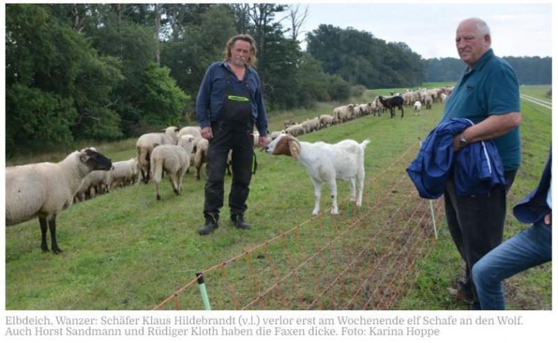 """JAGDRECHT GEFORDERT   Schäfer aus Groß Garz verzweifelt: Wolf reißt bei Seehausen elf Tiere in drei TagenDer letzte Wolfsriss war am Montag. Klaus Hildebrandt (58), Schäfer aus Groß Garz, müsste aus wirtschaftlicher Sicht eigentlich alles hinschmeißen. 300 Schafe habe ihm der streng geschützte Wolf schon genommen. Das Raubtier gehört endlich ins Jagdrecht, sagen auch VG-Bürgermeister Rüdiger Kloth (Freie Wähler) und Horst Sandmann von der Wasserwacht.Wanzer - Wenn die Schafe, die er findet, wenigstens alle tot wären. Aber das seien sie bei Leibe nicht. Zum Beweis zeigt Schäfer Klaus Hildebrandt (58) gestern Vormittag auf dem Elbdeich an der Hohen Garbe Wanzer ein Video auf seinem Handy. Ein ausgewachsenes Schaf versucht zu laufen, aber die Hinterläufe sind offen gebrochen und stehen unnatürlich ab. Der Betrachter wendet sich automatisch ab. """"Ich bin echt kein Weichei, aber das möchtest du nicht sehen"""", sagt Hildebrandt, der einmal mehr auf schreckliche Tage zurückblickt.https://www.volksstimme.de/lokal/osterburg/schafer-aus-gross-garz-verzweifelt-wolf-reisst-bei-seehausen-elf-tiere-in-drei-tagen-3240345?reduced=true"""