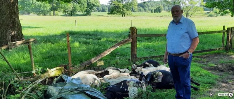 """Friesoythe   Wolf reißt in Markhausen 17 Schafe<br /><br />Ein grausiges Bild bot sich Franz Stammermann am Dienstagmorgen: Offensichtlich hatte sich ein Wolf an der Herde des Hobbyschäfers zu schaffen gemacht.<br /><br />Hobbyschäfer Franz Stammermann wird, so viel steht fest, die Schafhaltung aufgeben. """"Ich hatte früher schon mal 2 Hunderisse in meiner Schafherde"""", erzählt er. """"Da war für mich klar, wenn der Wolf kommt, dann mache ich damit Schluss.""""<br /><br />Der Wolf kam in der Nacht von Montag auf Dienstag und riss 17 der 30 Schafe, die Stammermann noch in seiner Herde hatte. """"Vielleicht waren es auch 2 Wölfe"""", sagt Wolfsberater Arnold Aumüller, der die toten Tiere begutachtet und DNA-Proben genommen hat. """"Es wurde mehr gefressen, als es ein Wolf alleine schaffen würde."""" 3 Schafe sind bei dem Überfall angefressen worden, bei 2 von ihnen war jeweils eine Hinterkeule weg.<br /><br />https://www.om-online.de/om/wolf-reist-in-markhausen-17-schafe-74776"""