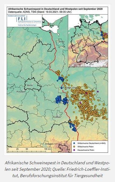 23. März 2021 Afrikanische Schweinepest   In Brandenburg gibt es derzeit drei Kernzonen, in Sachsen schließt sich eine weitere Zone mit Tierfunden an. Bisher wurden fast 850 verendete Tiere positiv auf die Afrikanische Schweinepest getestet. Die Seuchenbekämpfung hat in den Regionen Priorität. Für die Landwirte kam im letzten Jahr grünes Licht, um Feldarbeiten durchzuführen zu dürfen. Das gilt bis heute. Aber viele Arbeiten wurden deutlich später als normal ausgeführt (Saat, Herbizidbehandlung). Einschränkungen gibt es im Frühjahr insofern, dass in hochwachsenden Kulturen wie Mais, Sorghumhirse, Sudangras, Sonnenblume und Winterraps Bejagungsschneisen angelegt werden müssen. Auch besteht eine Empfehlung, diese Kulturen möglichst nicht in den Kernzonen anzubauen. Die Schneisen müssen auf allen Feldern, die eine Größe von 10 Hektar überschreiten, mit einem Mindestabstand von 30 Metern zum Feldrand angelegt werden. Dabei dürfen die Schneisen den Schlag nicht durchschneiden – die Hauptkultur muss von allen vier Seiten begrenzt sein. Darüber hinaus sind mehrere Schneisen anzulegen, wobei die Ausrichtung entgegen der Saatrichtung erfolgen sollte. Die Regelungen sind mit der Beantragung der Direktzahlungen abgestimmt. Eine Selbstbegrünung ist statthaft.Die Kernzonen des Verbreitungsgebietes wurden mit einem festen Zaun begrenzt. Hieran schließt sich die weiße Zone, eine ca. fünf Kilometer breite Pufferzone um das Kerngebiet. Diese ist ebenso eingezäunt. So hofft man, die Seuche räumlich zu begrenzen. Um die Pufferzone schließt sich in einem Radius von 20 bis 25 Kilometern das sogenannte gefährdete Gebiet an, in welchem für Jäger, Landwirte und Bewohner besondere Regeln gelten. Diese stehen auf der Webseite [https://msgiv.brandenburg.de/msgiv/de/themen/verbraucherschutz/veterinaerwesen/tierseuchen/afrikanische-schweinepest/] zum Nachlesen zur Verfügung. Problematisch sind die Regelungen vor allem für Schweinehalter, denn deren eigene Produktion aus dem gefährdeten Gebiet (z