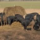 Kreis verlangt StallbauEin Betrieb in der Schweinepest-Falle9.08.21 | 17:49 UhrDie Afrikanische Schweinepest hat Oder-Spree immer mehr im Griff. Es wurden weitere tote Schweine entdeckt. Somit musste eine neue Kernzone ausgerufen werden. Die Restriktionen werden angezogen - mit harten Folgen für einen Betrieb. Von Michael LietzNach dem Fund weiterer an der Afrikanischen Schweinepest (ASP) verendeter Tiere wurde bei Sieversdorf in der Gemeinde Jacobsdorf (Oder-Spree) ein weiteres ASP-Kerngebiet ausgerufen. Außerhalb geschlossener Ortschaften dürfen Wald- und Feldareale nicht mehr betreten werden. Und auch weiter südlich im Spreetal bei Beeskow wurden weitere tote Tiere gefunden. Ganz in der Nähe ist das Gut Hirschaue, das unter freiem Himmel seltene Sattelschweine aufzieht und vermarktet. Nun soll der Betrieb Ställe für die Schweine bauen - fordert das Veterinäramt.https://www.rbb24.de/studiofrankfurt/panorama/2021/08/afrikanische-schweinepest-oderspree-betrieb-stall-restriktionen-brandenburg.html