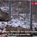 Nationalpark Unteres OdertalSchutzzaun gegen die Schweinepest wird zur tödlichen Fallehttps://www.rbb24.de/panorama/beitrag/av7/video-brandenburg-asp-schweinepest-schutzzaun-falle-ruhe-flucht-.html