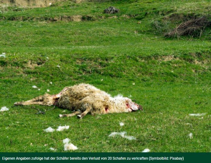 STRALSUND: TOTE SCHAFE ALS PROTEST7. Mai 2021   Vier vermutlich vom Wolf gerissene Schafe hat ein Berufsschäfer in der Stralsunder Innenstadt kurzzeitig auf Planen abgelegt.Tote Schafe als ProtestEr wollte damit gegen die Wolfspolitik protestieren und auf die Probleme der Schafszüchter aufmerksam machen. Nach wenigen Minuten verwies die Polizei ihn aus der Fußgängerzone.https://djz.de/stralsund-tote-schafe-als-protest/