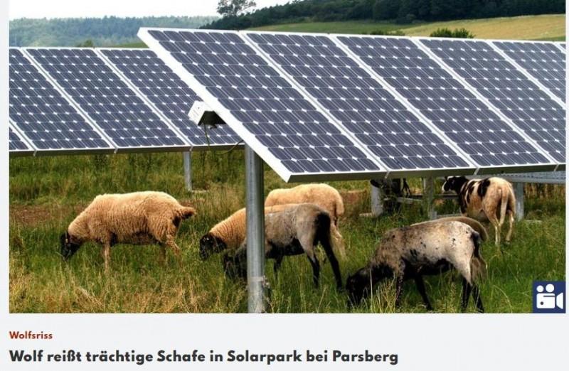 """Tag der offenen Weide: Schäfer Gloßner: """"Uneingeschränkter Schutz der Wölfe ist Tierquälerei""""von Anton Karg    7.9.2021MÜHLHAUSEN - Johann Georg Gloßner aus Erasbach sorgt sich wie alle Schafhalter wegen der zunehmen Wolfspopulation in Bayern.Ziel des Bayerischen Aktionsplans Wolf ist es, Konflikte zu minimieren, die die wachsende Zahl von Wölfen in Bayern auslöst. Vorbeugende Maßnahmen sollen verhindern, dass Weidetiere gerissen werden.https://www.nordbayern.de/region/neumarkt/schafer-glossner-uneingeschrankter-schutz-der-wolfe-ist-tierqualerei-1.11332309"""