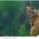 96 Luchse: Vorkommen in Bayern nimmt leicht zuKathrin-Fuehres 03.04.2021In Bayern steigt die Zahl der Luchse weiter an. Doch die Raubkatzen gelten in Deutschland weiterhin als stark gefährdet…In Bayern leben wieder mehr Luchse. Das teilte das bayerische Umweltministerium mit. Für das Monitoringjahr von Mai 2019 bis April 2020 seien 70 selbstständige Luchse und 26 Jungtiere nachgewiesen worden. Die meisten der Tiere seien grenzüberschreitend im Dreiländereck Deutschland/ Tschechien/ Österreich unterwegs. 51 der Luchse inklusive 20 Jungtiere würden davon hauptsächlich in Bayern leben. Die Zahl reproduzierender Weibchen sei von elf auf 13 gestiegenhttps://www.jagderleben.de/news/96-luchse-vorkommen-bayern-nimmt-leicht-712598