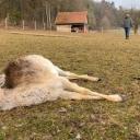"""3.03.2021       Experte nach Angriff auf Tiere in Betzenstein: """"Es war ein Wolf""""Nach den beiden Attacken auf Wildtiere in Betzenstein, verdichten sich die Anzeichen, dass es tatsächlich Wolfsangriffe waren. Die im angrenzenden Veldensteiner Forst lebenden Raubtiere, könnten ihr Beuteschema geändert haben, glaubt ein Experte.Nachdem 18 tote Tiere in einem Wildgehege bei Betzenstein gefunden wurden, ist sich ein Experte der Regierung von Oberfranken nun sicher: Das Damwild ist einem oder mehreren Wölfen zum Opfer gefallen. Wie der Biologe und Wildtiermanager der Regierung von Oberfranken, Karsten Gees, im Gespräch mit dem Bayerischen Rundfunk sagt, spreche das Bild, das sich ihm vor Ort geboten habe, für einen Angriff durch den Wolf.Wildtierexperte geht von Angriff durch Wolf aushttps://www.br.de/nachrichten/bayern/betzenstein-anzeichen-fuer-wolf-angriff-verdichten-sich,SQb5XMf"""