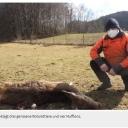 Bestätigt: Wolf tötete 25 Tiere in der Fränkischen SchweizÜberregionale Gespräche fanden am Freitag statt 21.03.2021    BETZENSTEIN/VELDEN - Es war ein Wolf, der vor einigen Wochen an der Landkreisgrenze zu Oberfranken eine blutige Hetzjagd in zwei Wildgehegen gemacht hat. Eine Videokonferenz mit Tierhaltern, Bürgermeistern und Behörden offenbarte nun die Lage nach den Angriffen im Kreis Bayreuth.Seit Ende vergangener Woche ist es amtlich bestätigt: Es war ein Wolf, der vor einigen Wochen an der Landkreisgrenze zu Oberfranken eine blutige Hetzjagd in zwei Wildgehegen gemacht hat. 25 Tiere wurden bei den Angriffen getötet. Im weiten Umkreis ist die Bevölkerung ängstlich und verunsichert – auch weil bereits bei Tageslicht immer wieder Wölfe beobachtet wurden, die nicht gleich die Flucht ergriffen. Erst am Freitagnachmittag wurden wieder sechs Wölfe um Münzinghof gesehen.Anfang März war das Damwildgehege der Familie Ertel in Illafeld Tagesgespräch im nördlichen Pegnitztal. Seither ist die Meinung um die Bestandssicherung des Raubtiers noch mehr zweigeteilt. Insbesondere Menschen, die in der Stadt leben, sehen den Meister Isegrim zur Natur in den heimischen Wäldern gehörend.https://www.nordbayern.de/region/pegnitz/bestatigt-wolf-totete-25-tiere-in-der-frankischen-schweiz-1.10937672