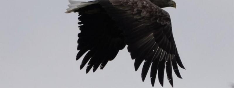 GUTACHTENWindräder: Erhöhtes Tötungsrisiko für GroßvögelAuswirkungen auf Großvögel und Fledermäuse durch Bau von Windkraftanlagen auf Riesebyer Fläche bei Saxtorf befürchtet.Mit dem möglichen Bau von Windkraftanlagen im Windpark Saxtorf sind hohe Auswirkungen auf Großvögel und Fledermäuse zu erwarten. Zu dem Ergebnis kommt die Dipl. Biologin Natascha Gaedecke in ihrem Gutachten. Sie stellte bei der Sitzung des Bauausschusses am Donnerstagabend fest, dass aus gutachterlicher Sicht der Bau von Windkraftanlagen in der Riesebyer Windeignungsfläche Saxtorf, zwischen Gut Saxtorf, dem Wald Kollholz, der Außensiedlung Wettstein und dem Russlandmoor gelegen, sehr kritisch zu bewerten sei. Sie hatte im Auftrag der Gemeinde ein faunistisches Gutachten im Zuge der Bauleitplanung für den B-Plan 17 Windpark Saxtorf erstellt.https://nordschleswiger.dk/de/deutschland-schleswig-holstein-hamburg/windraeder-erhoehtes-toetungsrisiko-fuer-grossvoegel