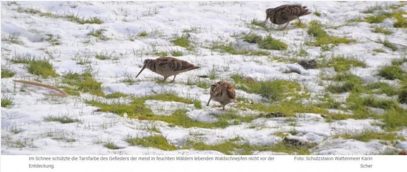 """UMWELT UND TIERSCHUTZNaturschützer fordern Ende der Jagd auf WaldschnepfenAuf Inseln im Wattenmeer sind viele tote Exemplare entdeckt worden: Eisige Kälte in der vergangenen Woche hat möglicherweise Tausende Vögel das Leben gekostet.Die Naturschutzorganisation """"Schutzstation Wattenmeer"""", die entlang der schleswig-holsteinischen Westküste tätig ist, berichtet über viele tote Waldschnepfen, die unter anderem auf der nordfriesischen Insel Amrum vermutlich aufgrund von Futtermangel während der zurückliegenden Tage mit starkem Frost und Schneefällen umgekommen sind.""""Zu Beginn der Kälteperiode mit sehr strengem Frost von unter minus zehn Grad Celsius und großflächiger Vereisung aller Gewässer und selbst des Wattenmeeres haben die meisten Wasservögel schnell die Flucht ergriffen"""", vermutet Klaus Günther, Vogelexperte der Schutzstation Wattenmeer.https://nordschleswiger.dk/de/nordschleswig-tondern-daenemark/naturschuetzer-fordern-ende-jagd-waldschnepfen"""